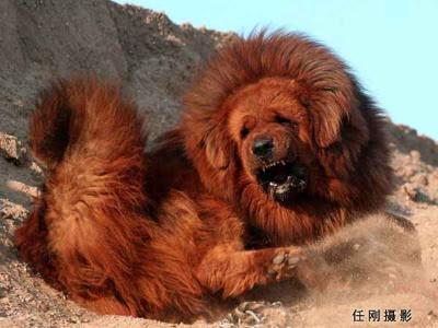 สุนัขที่แพงที่สุดในโลก