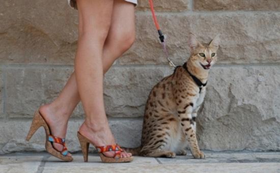 แมวอาชีร่า